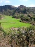 Jaskrawy - zieleni tarasowaty zbożowy pole Obrazy Royalty Free
