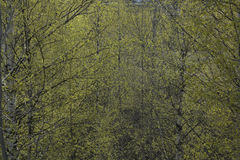Jaskrawy - zieleni wiosna liście na brzozie rozgałęziają się obrazy royalty free