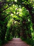 Jaskrawy - zieleni Żywy Drzewny tunel obrazy stock