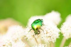 Jaskrawy - zielona ściga na białych kwiatach fotografia stock