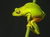 Jaskrawy - zielona żaba Fotografia Royalty Free
