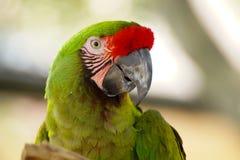 Jaskrawy - zielona papuga Obrazy Royalty Free