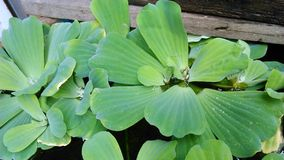 Jaskrawy - zielone tropikalne rośliny wodne zdjęcia royalty free