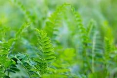 Jaskrawy - zielonego lata łąkowa trawa Obrazy Stock