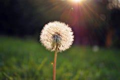 Jaskrawy - zielonej trawy tło świeży zielonej trawy pole Zdjęcia Royalty Free