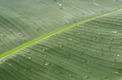 Jaskrawy - zielony bananowy liść Obraz Stock