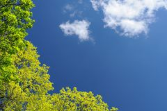 Jaskrawy - zielony drzewo opuszcza w niebieskim niebie z chmury copyspace Fotografia Royalty Free