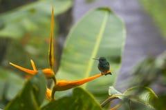 Jaskrawy - zielony Hummingbird na ptaku raju Pomarańczowy kwiat zdjęcie royalty free