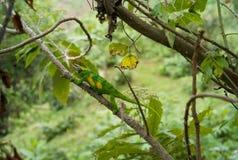Jaskrawy - zielony kameleon obrazy royalty free
