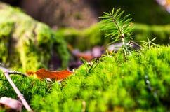 Jaskrawy zielony lasowy mech igły acorns jesień tła granicy projekta lasowy dębowy światło słoneczne Obrazy Stock