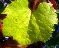 Jaskrawy - zielony liść tekstury zakończenie Up Fotografia Royalty Free