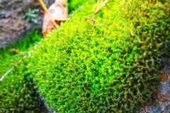Jaskrawy - zielony mech na starym kamieniu, natury tło Obrazy Royalty Free