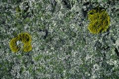 Jaskrawy - zielony mech na szarej ścianie Tło ściana, mech tekstura Mech tło Zielony mech na grunge teksturze, tło zdjęcie royalty free