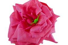Jaskrawy - zielony pająk na różowi różanego obraz royalty free