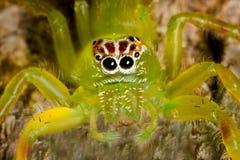 jaskrawy - zielony pająk Zdjęcie Royalty Free