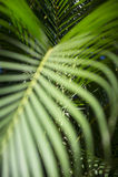 Jaskrawy - zielony Tropikalny Palmowy Frond tło obrazy stock