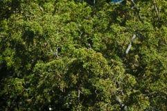 Jaskrawy - zielony wiecznozielony drzewo opuszcza gałąź folującego ramowego tło obraz stock