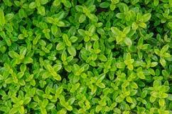 Jaskrawy - zielony ziele tło Obrazy Royalty Free