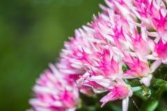 Jaskrawych kwiatów makro- fotografia Fotografia Royalty Free