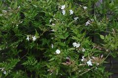 Jasmijn - Jasminum stock foto