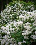 Jasmijn of jasminum officinale wijnstok en witte bloemen in de lente royalty-vrije stock afbeelding