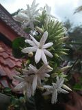 Jasmijn met regendalingen Royalty-vrije Stock Foto