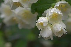 Jasmijn na de regen Stock Afbeeldingen