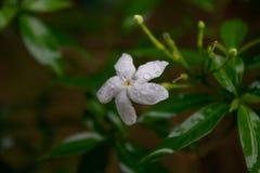 Jasmijn na regen stock fotografie