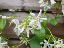 Jasmijn witte het beklimmen bloem Royalty-vrije Stock Afbeeldingen