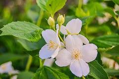 Jasmijnbloem met bladeren Royalty-vrije Stock Foto's
