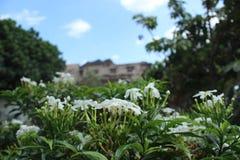 Jasmijnbloem met bokehachtergrond royalty-vrije stock afbeeldingen