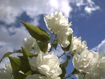 Jasmijnbloem tegen de blauwe hemel en de wolken Stock Foto's