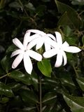 jasmijnbloem van Sri Lanka royalty-vrije stock foto's