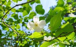 Jasmijnbloem in zonlicht Stock Fotografie