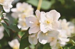 Jasmijnbloemen in de tuin Stock Foto's