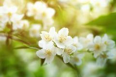 Jasmijnbloemen die op struik in zonnige dag tot bloei komen Royalty-vrije Stock Afbeelding