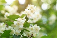 Jasmijnbloemen die op struik in zonnige dag tot bloei komen Royalty-vrije Stock Foto