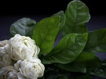 Jasmijnbloemen op donkere achtergrond stock fotografie