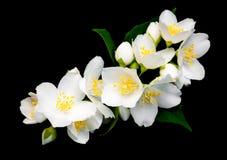 Jasmijnbloemen op een zwarte Royalty-vrije Stock Fotografie