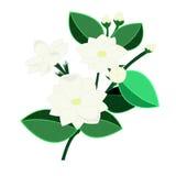 Jasmijnbloemen op witte achtergrond Stock Afbeelding