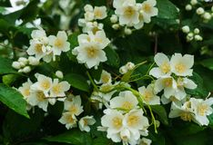 Jasmijnstruik met witte bloemen in de tuin na de regen wordt bestrooid die royalty-vrije stock foto