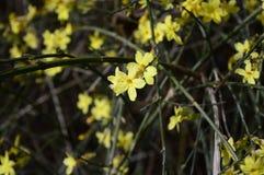 Jasmim adiantado amarelo jasmim de inverno coled imagem de stock royalty free
