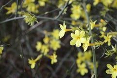 Jasmim adiantado amarelo jasmim de inverno coled fotos de stock royalty free