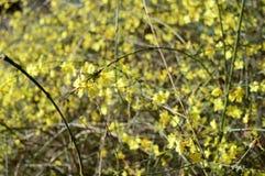 Jasmim adiantado amarelo jasmim de inverno coled foto de stock royalty free