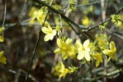 Jasmim adiantado amarelo jasmim de inverno coled imagens de stock