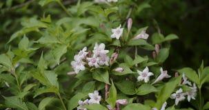 Jasmim alaranjado, flor alaranjada branca do jasmim com as folhas verdes que florescem no jardim closeup video estoque