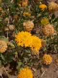 Jasmim amarelo fresco foto de stock