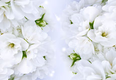 Jasmim bonito Foto de Stock Royalty Free