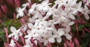 Jasmim branco & cor-de-rosa - polyanthum do Jasminum Fotografia de Stock Royalty Free