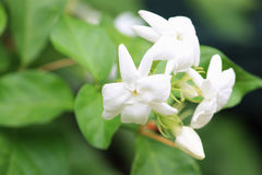 Jasmim branco em um jardim exterior bonito Fotos de Stock Royalty Free